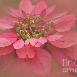 Rose Blush Poinsettias Digital Art by Colleen Cornelius
