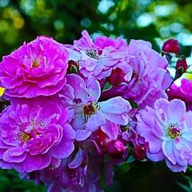 Rose Bush Finale by Loretta S