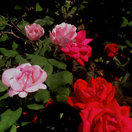 Rose Cascade by Gardening Perfection
