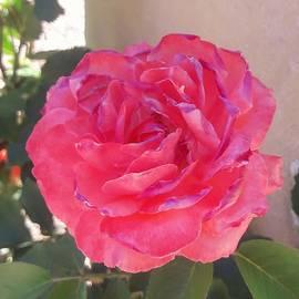 Rose in Bloom by Georgia Threet