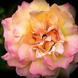 Rose in full bloom by Vanessa Thomas