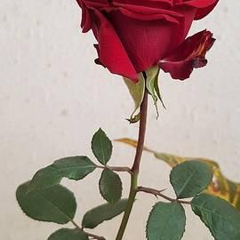 Rose in My Garden... by Kusum Lata Verma