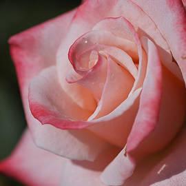 Rose In Pinks by Joy Watson