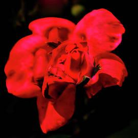 Rose-In-Rose - Deep Red by Daniel Beard