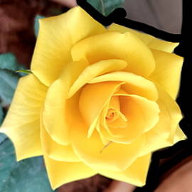 Rose In Yellow by Anand Swaroop Manchiraju
