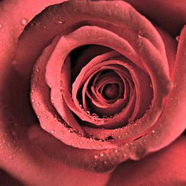 Rose by Kamalika Roy