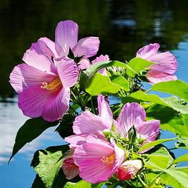 Rose Mallow in Bloom by Lyuba Filatova