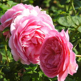 Rose Perfection by Barbara Ebeling