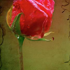 Rose Rain Drops by Elaine Teague