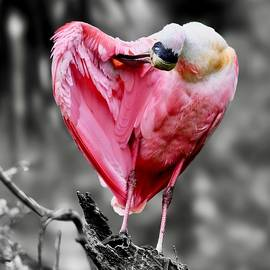 Roseate Spoonbill in Selective Color by Richard Bryce and Family