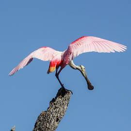 Roseate Wings by Donna Kaluzniak