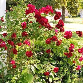 Roses by Elaine Sieredzinski