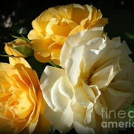 Roses Lovely in Yellow and White by Dora Sofia Caputo Photographic Design and Fine Art