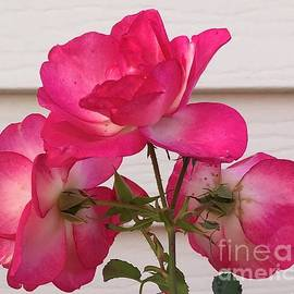 Roses Unfolding by Ann Brown