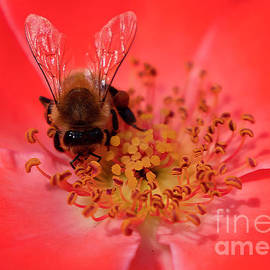 Rosey Honeybee by Jennie MacDonald