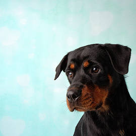 Rottweiler Portrait In Studio Face on Blue and White Heart Background by Ashley Swanson