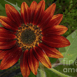 Royal Sunflower by Linda Howes
