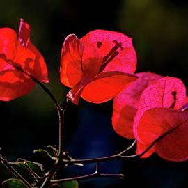 Ruby-colored Bougainvillea by Lyuba Filatova