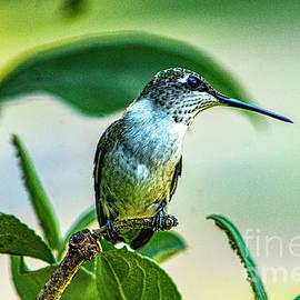 Ruby Throat Hymmingbird by Gary Shindelbower