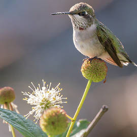Ruby-Throated Hummingbird 2021 01 by Judy Tomlinson