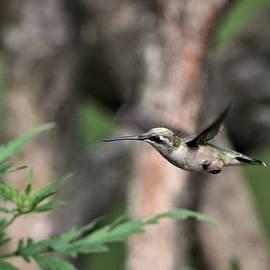 Ruby-throated Hummingbird   3456-5 by Travis Truelove
