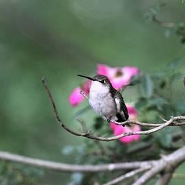 Ruby-throated Hummingbird  9835-1 by Travis Truelove