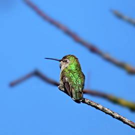 Ruby-throated Hummingbird Female Perching by Lyuba Filatova