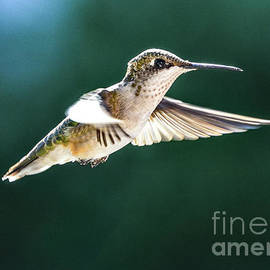 Ruby-throated Hummingbird In Morning Flight by Cindy Treger