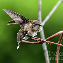 Ruby-throated Hummingbird In The Stretch by Cindy Treger