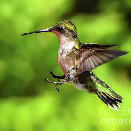 Ruby-throated Hummingbird Putting On Its Brakes by Cindy Treger