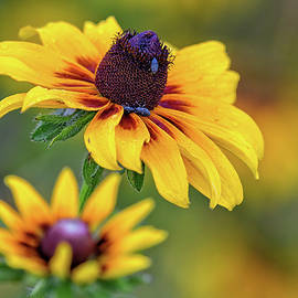 Rudbeckia by Any Other Name by Fon Denton