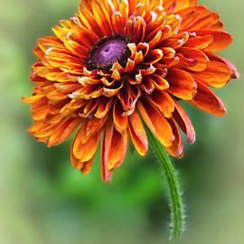 Rudbekia Orange by Marcia Colelli