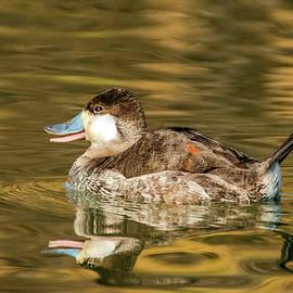 Ruddy Duck 5968-012220-2 by Tam Ryan
