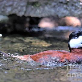 Ruddy Duck by Diann Fisher