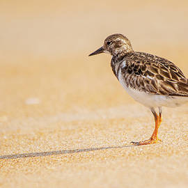 Ruddy Turnstone by Mary Ann Artz