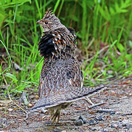 Ruffed Grouse Display by Debbie Oppermann