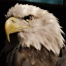 - Ruffled Feathers - Bald eagle