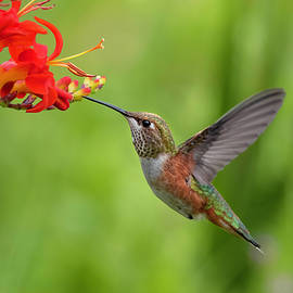 Rufous in the Crocosmia by Wes and Dotty Weber