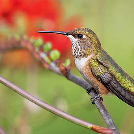 Rufous Portrait by Wes and Dotty Weber