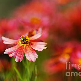 Rum Punch Plant Warmth Coreopsis by Joy Watson