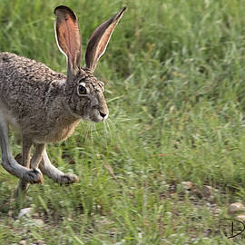 Running Jackrabbit by David Cutts
