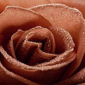 Rustic Rose With Morning Dew by John Rogers