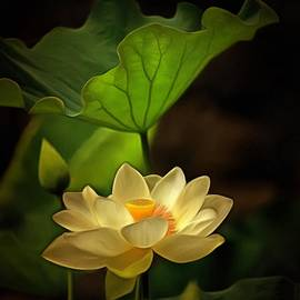 Sacred Lotus in Sacred Light by Geraldine Scull