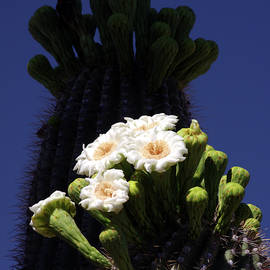 Saguaro Flowers And Silhouette by Douglas Taylor
