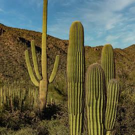 Saguaro Generations - Saguaro National Park by Stephen Stookey