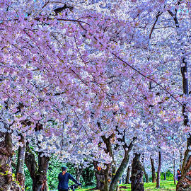 Sakura Cherry Blossoms Tidal Basin Washington DC by David Zanzinger