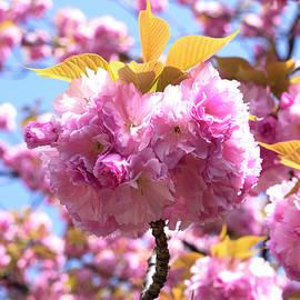 Sakura by Jeffrey Taylor
