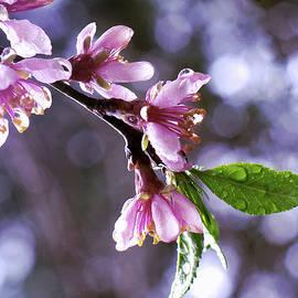 Sakura Rain by Susan Maxwell Schmidt