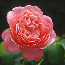 Salmon-Colored Rose Square Format by Marilyn DeBlock
