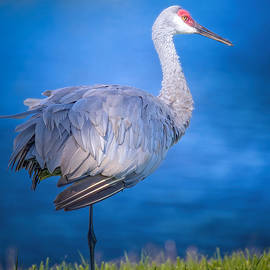 Sandhill Crane by the River by Mark Andrew Thomas